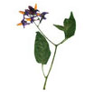 belladonna logo