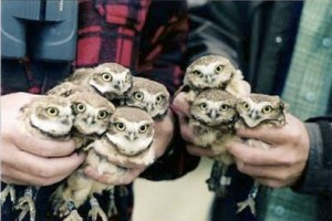 two handfuls of baby owls